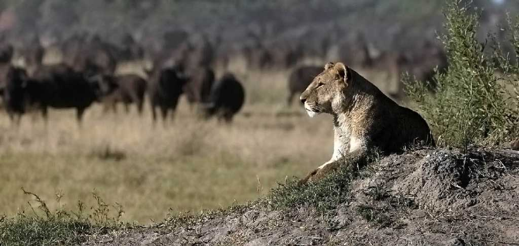 Lions: Africa's Magnificent Predators
